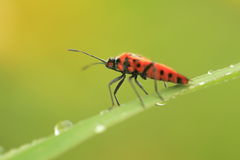 Firebug. The firebug on the green leaf coveved with a dew Royalty Free Stock Photos