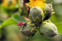 Firebug on hibiscus bud. Closeup of a firebug on hibiscus bud Stock Photos