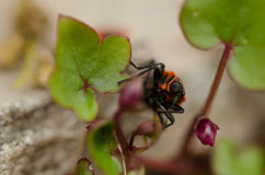 Firebug - insect royalty-vrije stock fotografie