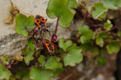 The firebug - insect. The firebug, Pyrrhocoris apterus, is a common insect of the family Pyrrhocoridae Stock Images