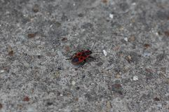 Firebug. A firebug insect, red with black spots on the back, on the gray cement ground Stock Images