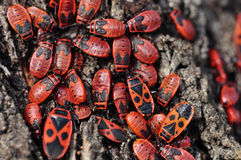 Firebug insects. Firebug red insect colony on tree trunk bark. Nature macro Royalty Free Stock Photo