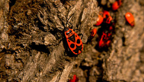 Firebug with mask pattern on bark Royalty Free Stock Image