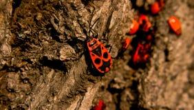 Firebug met maskerpatroon op schors Royalty-vrije Stock Afbeelding