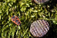 Firebug on moss. Red and black firebug on moss Royalty Free Stock Images
