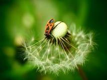 Firebug na dandelion fotografia stock