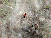 Firebug nei ciuffi del seme del pioppo fotografia stock libera da diritti