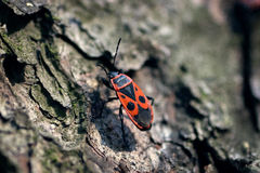 Firebug. One firebug walking on tree Stock Image