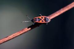 Firebug. One firebug walking on tree Royalty Free Stock Images