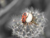 Firebug op paardebloem Royalty-vrije Stock Afbeelding