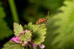 Firebug op rand van het blad Stock Foto