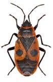 Firebug op witte Achtergrond Stock Afbeelding