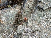 Firebug. Photo of a little firebug on a rock Royalty Free Stock Photos
