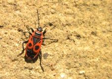 Firebug. Photography of firebug on wall Stock Photo