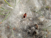 Firebug in the poplar seed tufts Royalty Free Stock Photography