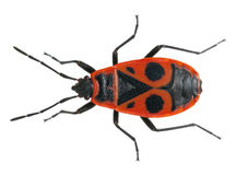Firebug, Pyrrhocoris apterus Stock Images