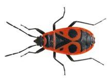 Firebug, Pyrrhocoris apterus. In front of white background Stock Images