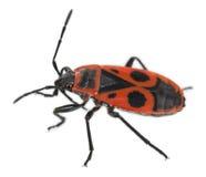 Firebug, Pyrrhocoris apterus Royalty Free Stock Image