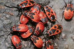 The firebug Pyrrhocoris apterus Royalty Free Stock Image