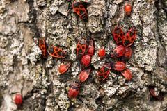 Firebug, pyrrhocoris apterus Zdjęcie Royalty Free