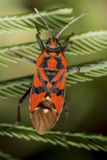 Firebug, Pyrrhocoris apterus Royalty Free Stock Images