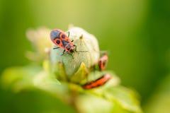 Firebug (Pyrrhocoris apterus) Obraz Royalty Free