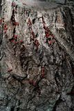 Firebug - pyrrhocoris apterus Immagini Stock Libere da Diritti