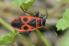 Firebug. Pyrrhocoris apterus Royalty Free Stock Photo