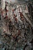 Firebug - Pyrrhocoris apterus Royalty Free Stock Images