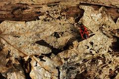 Firebug (Pyrrhocoris apterus) Stock Image