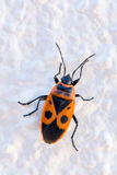 Firebug. The firebug, Pyrrhocoris apterus, is a common insect of the family Pyrrhocoridae found across Europe at the base of Lime trees Stock Image