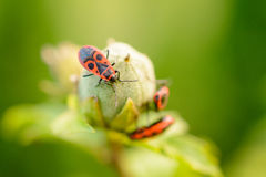 Firebug (Pyrrhocoris apterus). Family of firebugs on leaf Royalty Free Stock Image