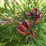 The firebug, Pyrrhocoris apterus. Is a common insect of the family Pyrrhocoridae. Easily recognizable due to its striking red and black coloration.They are stock photography