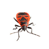Firebug ( Pyrrhocoris apterus) isolated on white Stock Photos