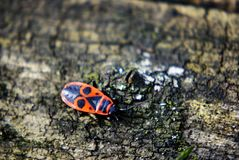 Firebug Pyrrhocoris apterus stock photo
