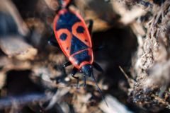 Firebug, Pyrrhocoris apterus in natural habitat, selective focus royalty free stock photos