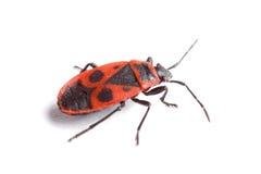 Firebug (Pyrrhocoris apterus) odizolowywający na bielu zdjęcie royalty free