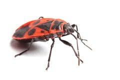Firebug (Pyrrhocoris apterus) odizolowywający na bielu fotografia royalty free
