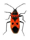 Firebug. (Pyrrhocoris apterus, Pyrrhocoridae) isolated on a white background Royalty Free Stock Photos