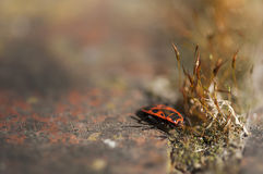 Firebug. (Pyrrhocoris apterus) on a rock with a patch of moss Royalty Free Stock Photography