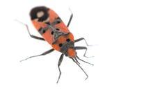 Firebug. Pyrrhocoris apterus on white background Royalty Free Stock Photo