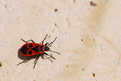 Firebug (pyrrhocoris heteroptera) Royalty Free Stock Photo