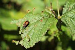 Firebug. Red and black firebug Pyrrhocoris apterus on the green leaf Stock Photography