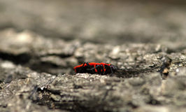 Firebug. Red firebug on lime tree Royalty Free Stock Photography