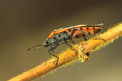 Firebug sitting on branch / Pyrr Royalty Free Stock Images