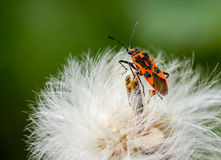 Firebug. Is sitting on a dandelion Stock Images
