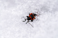 The firebug In the snow. The firebug, Pyrrhocoris apterus after the winter thaw Stock Images