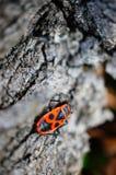 Firebug. On tree bark Stock Images