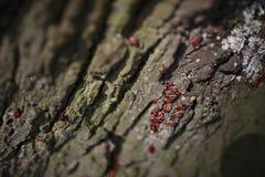 Firebug on Tree Bark Stock Photo