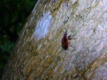 Firebug on the tree Stock Photos